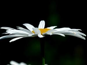 neue Blume