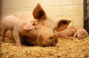 pigs (Foto Pixabay_skeeze)