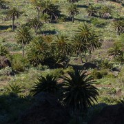 Ölpalmen-Plantagen zerstören Regenwald.